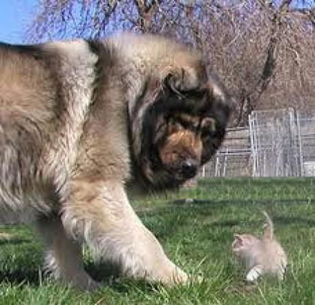Caucasian Shepherd Dog  Wikipedia